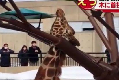 El rescate de la jirafa que se queda atrapada por el cuello en un árbol