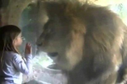 [VÍDEO] La niña intenta besar a un león... y así reacciona el animal