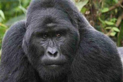 [VÍDEO] Matan a tiros al gorila del zoo para salvar al niño