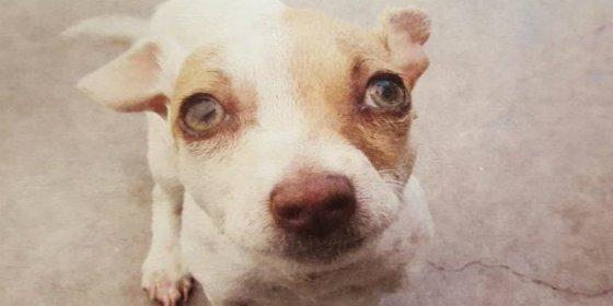 El perro adicto a las drogas con las que traficaba su dueño