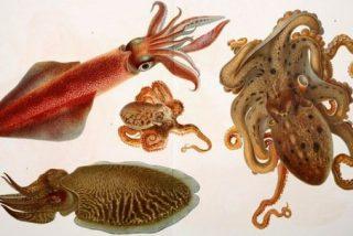 Los pulpos y calamares son los primeros beneficiarios del cambio climático