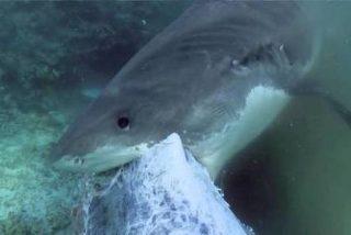 VÍDEO BRUTAL: 70 tiburones tigre devoran una ballena jorobada en Australia