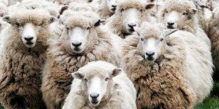 Las ovejas que se han vuelto locas perdidas por consumir marihuana