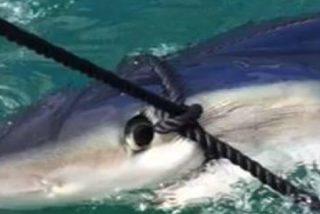 [VÍDEO] El gigantesco tiburón que se pasea tan campante por el Puerto de Palma