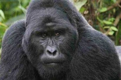 Los animalistas logran que se investigue ahora si la 'ejecución' del gorila en un zoo violó la ley