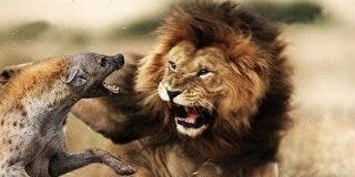 Este léon es un machote capaz de luchar solo contra una jauría de más de 20 hienas