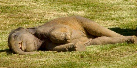La asustada mamá elefante pide ayuda en el zoo para que despierten a su cría