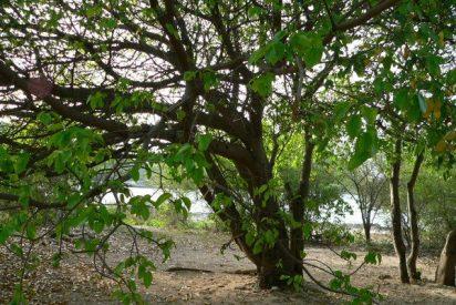 El árbol de la muerte: una planta que mata en silencio