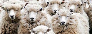 [VÍDEO] El pastor se duerme contando ovejas... ¡y 1.300 se le van de paseo por el centro de Huesca!