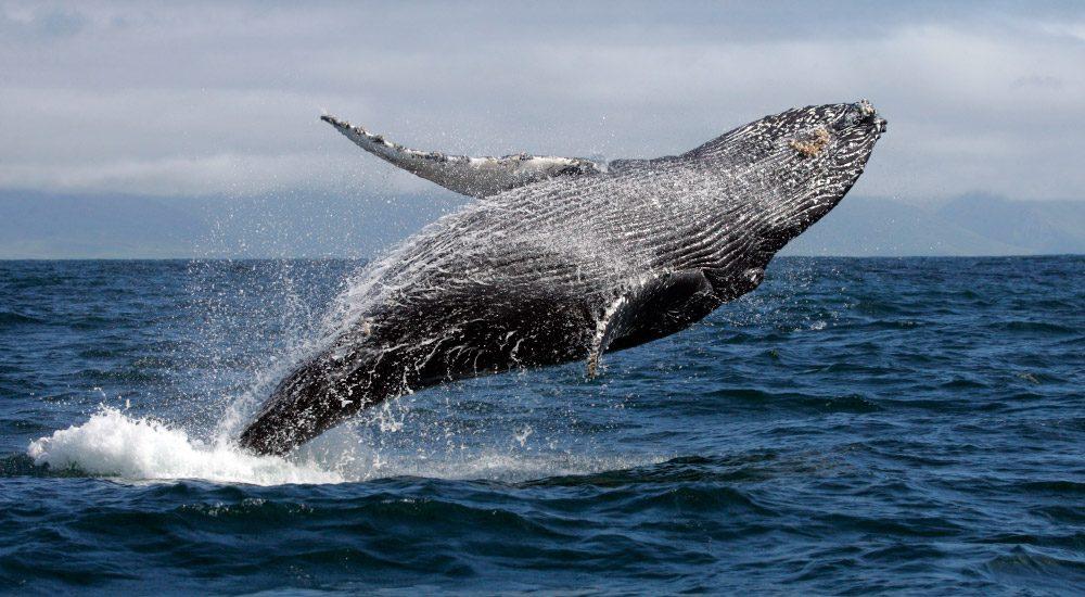 Drone graba a una ballena nadando entre surfistas