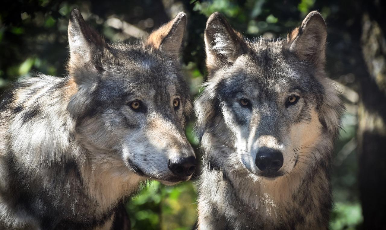 El lobo salvaje se convirtió en un perro domesticado en Alemania