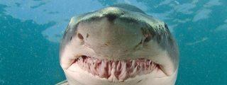 La reproducción de los tiburones, en peligro por el calentamiento del océano