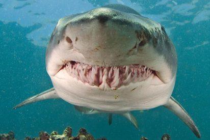Un tiburón blanco 'juguetea' con unos turistas: nada de espaldas y muestra sus afilados dientes