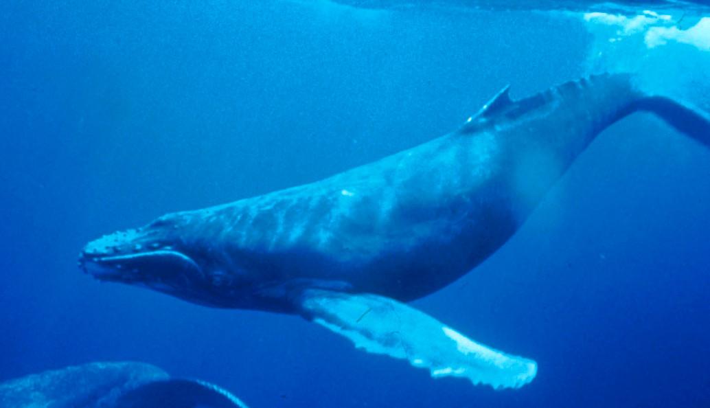 Esta ballena se traga a un buzo y lo escupe vivo poco después en una playa cercana en Sudáfrica