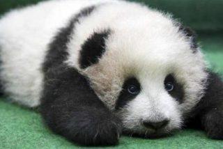 El emocionante nacimiento de un oso panda