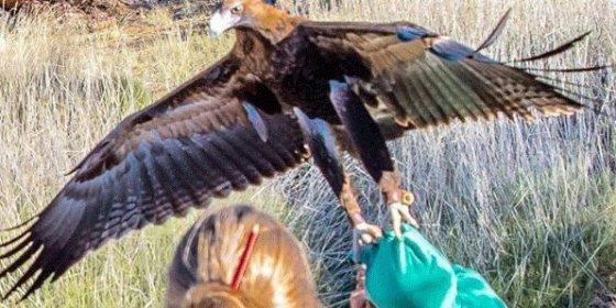 El águila trata de cazar a un niño durante un espectáculo de cetrería