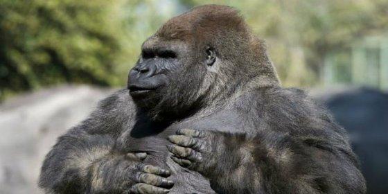 La extraña y trágica muerte de Bantú, el gorila más querido de México