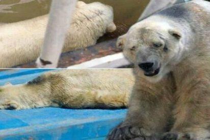 """Muere en un zoológico argentino Arturo: el oso polar """"más triste del mundo"""""""