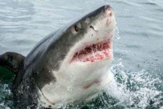 El gran tiburón blanco mediterráneo: los secretos ocultos en su ADN 'asesino'