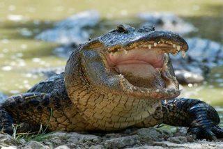 El estrambótico final del 'cocodrilo del Pisuerga': ni caimán, ni nutria ni nada