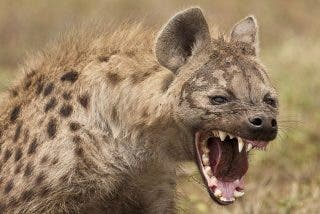 La hiena busca bronca y de vez en cuando se la meriendan