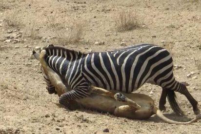 Cuando la inofensiva cebra casi se merienda al fiero león