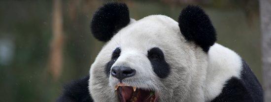 El tonto de turno despierta a un oso panda para hacerse el chulo y esto es lo que pasa