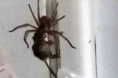 [VÍDEO] La aterradora araña gigante que arrastra al ratón por el frigorífico