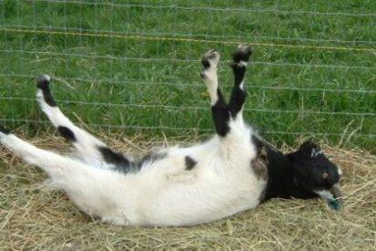 Las cabras que se desmayan con sólo ver abrirse un paraguas