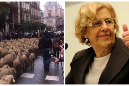 Carmena va a por lana: quiere un rebaño de ovejas para limpiar la Casa de Campo