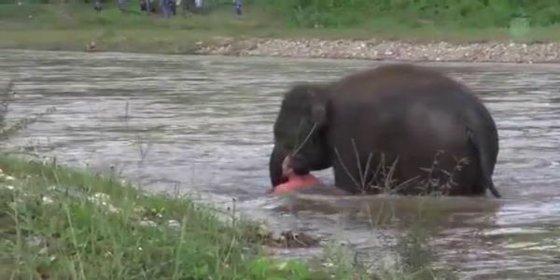 El vídeo del elefante que salva a su cuidador de morir ahogado en un río