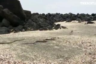 Toda la red habla de la épica huida de una iguana de las serpientes