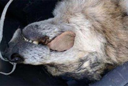 La pesadilla de lobo feroz de los agentes medioambientales en Asturias
