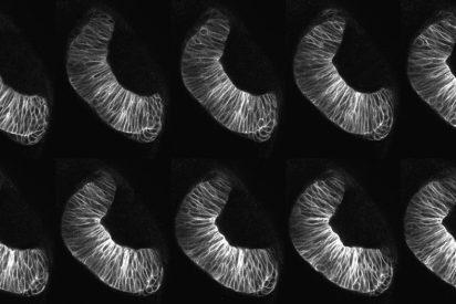 Describen las fuerzas que participan en el plegado de la retina embrionaria de los vertebrados