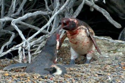 [VÍDEO] La sangrienta pelea del pingüino tras encontrar a su pareja con un 'amante'