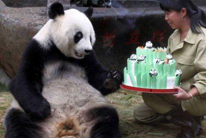 """Muere el """"abuelo de los pandas"""", Pan Pan"""