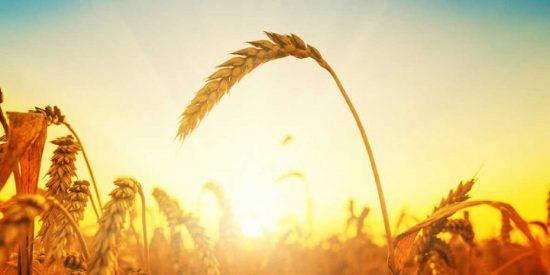 Los primeros en dominar el cultivo de cereales fueron los sirios del Neolítico