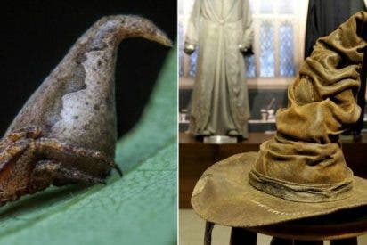 Descubren una araña idéntica al Sombrero de Harry Potter