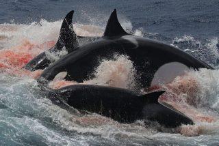 Ballenas asesinas: Acuden a admirar la danza de las orcas y asisten espantados a la tortura de la tortuga