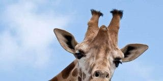 La jirafa está en peligro de extinción