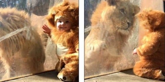 Así reacciona un león cuando ve a un tierno niño disfrazado de cachorro