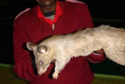Unas ratas gigantes devoran a una niña de 3 meses mientras su madre está de copas