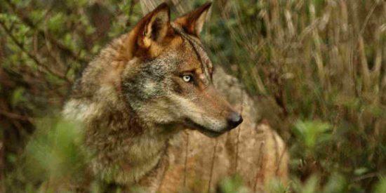 Junta y organizaciones agrarias pedirán al Ministerio el cambio de régimen del lobo