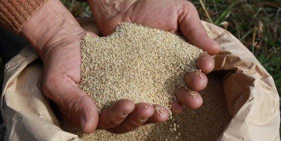 quinoa seca