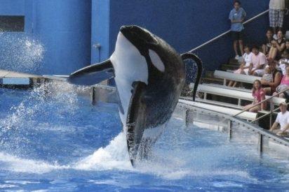 Muere Tilikum, la orca asesina