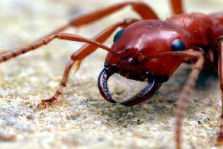 Las hormigas guerreras de los jardines del Diablo en el Amazonas
