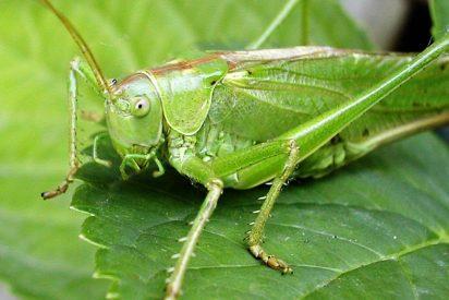 Entomofobia o fobia a los grillos