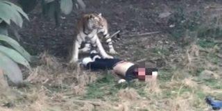 Así devora el feroz tigre al despistado turista en un zoo delante de su esposa e hijo