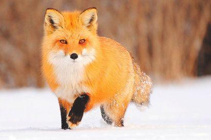 Frío Siberiano: Así quedó un zorro que cayó al Danubio
