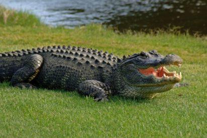 Un caimán aterroriza a turistas en Florida